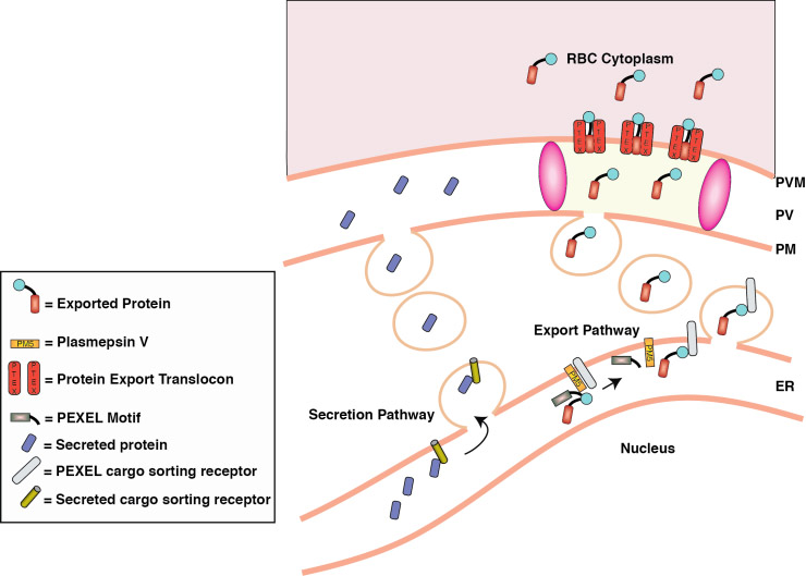 ... of parts of the five plasmids used for expressing Ble fusion protein